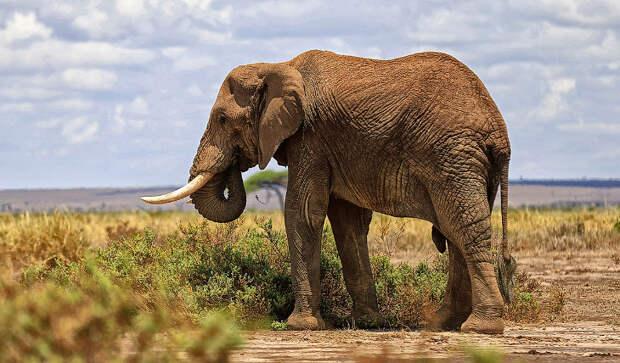 Как повесить ошейник на слона