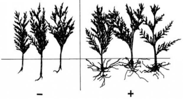 Регуляторы и стимуляторы роста помогают растениям укорениться и начать правильно развиваться