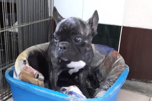 По дачам бродил грязный французский бульдог бульдог, собака, французский бульдог
