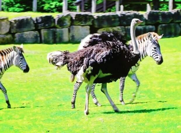 Британский страус бросил жену и стал зеброй