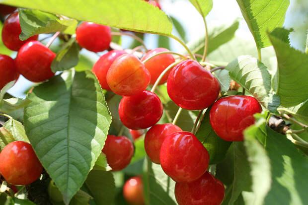 Почему черешня отказывается плодоносить