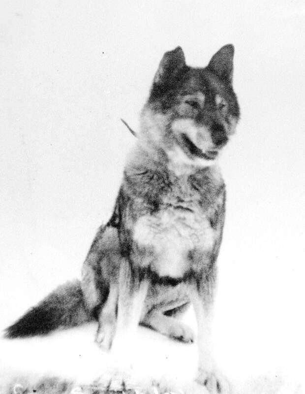 Героическая история собак Того и Балто, которые спасли целый город от эпидемии