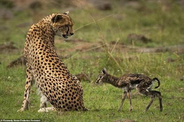 Невинное создание, ничего не подозревая, приближается к самке гепарда