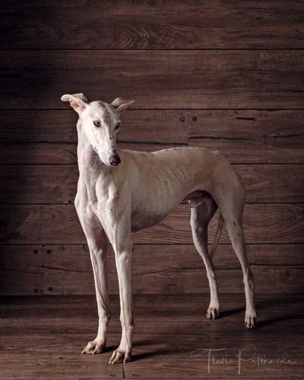 13. Порода, борзая, гальго, животные, испания, собака, спасение, фотография