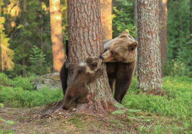 Медведь и грибной налог. Басня