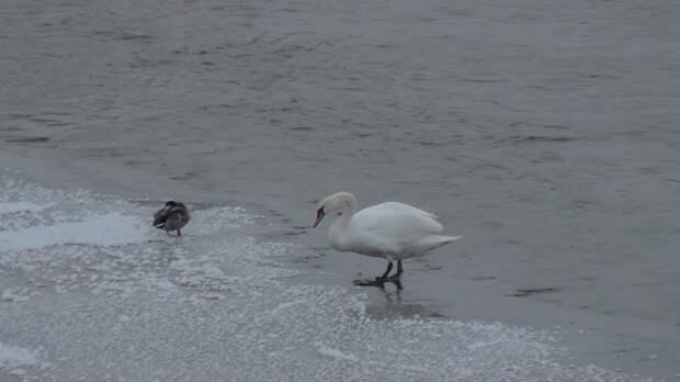 Лебедь из Балезино не нуждается в спасении
