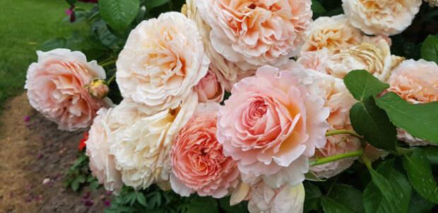 Как правильно использовать английскую соль для получения более ярких и красивых роз