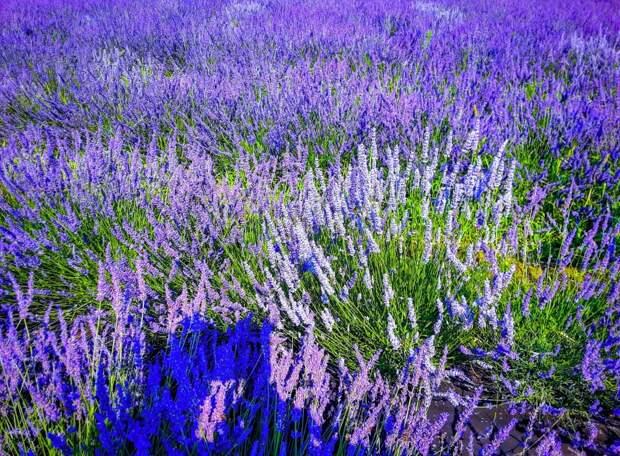 Прогулка по лавандовым полям