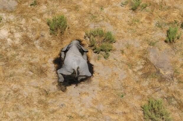 Ужас в Ботсване: погибли более 350 слонов