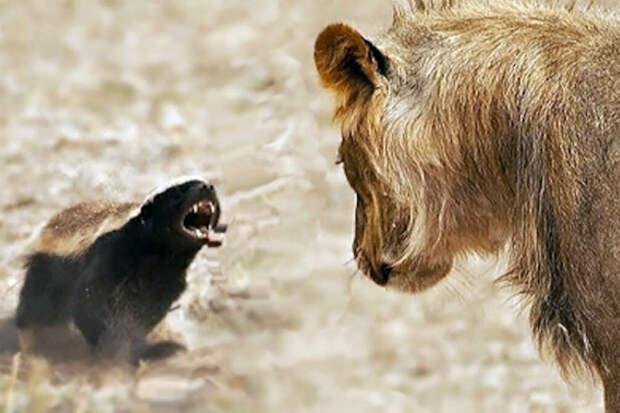 Почему медоеда боятся даже львы