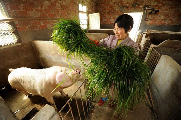 В Китае свиней обвинили в обрушении цен на мясо