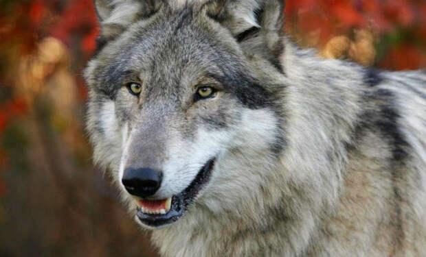Волк пришел в деревню, встал посреди людей и попросил о помощи