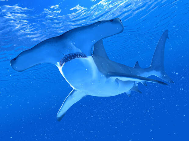 Акулы умеют пользоваться навигаторами