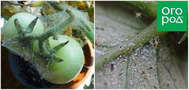 вредители томатов паутинный клещ