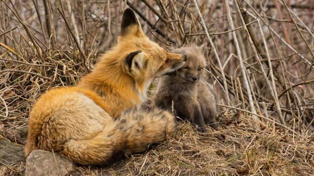 Лиса тащила лисёнка в землянку, не обращая внимания на людей