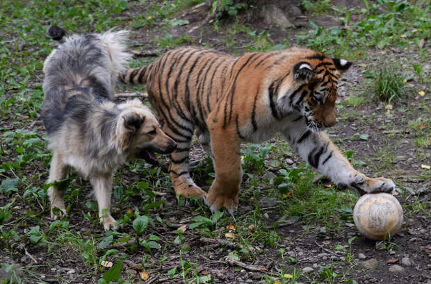 Тигр Шерхан и пёс Табаки