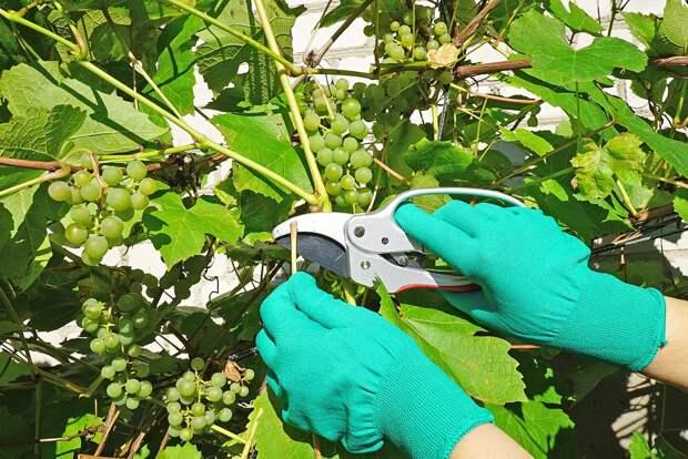 Как заставить виноград быстрее плодоносить