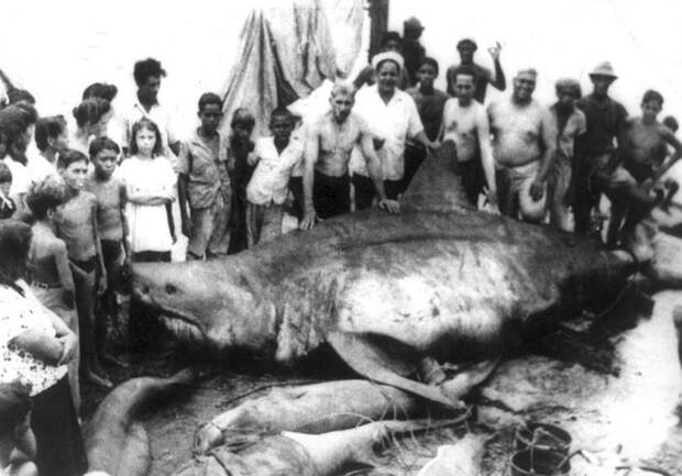 Челюсти: самые большие когда-либо пойманные акулы