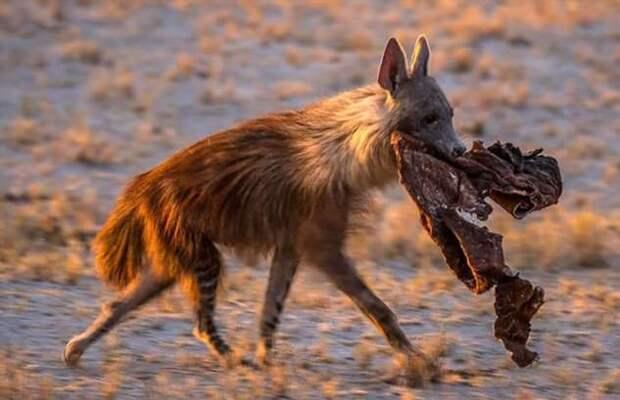 Бурая гиена: Пропитался падалью насквозь. Во что превращается животное, если ест только останки? (7 фото)