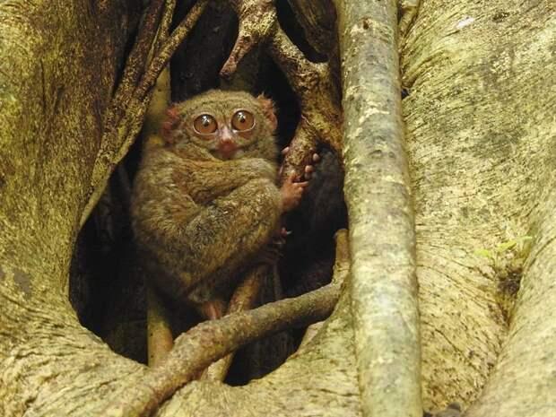 Примат Tarsius spectrumgurskyae 2017 год, биология, животные, новые виды животных, открытые животные, природа, фауна, эндемики