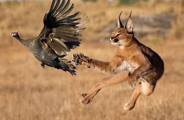 Видео: Каракал — рысь-прыгун, способная поймать 10 птиц за один прыжок