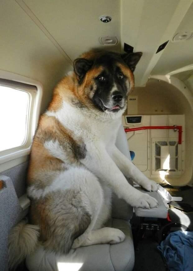 Отстань, хозяин, сам боюсь! животные, забавно, летайте самолетами, мило, пассажиры, самолет, собаки, хвостатые пассажиры