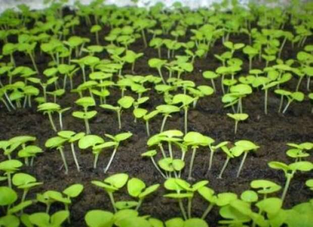 Применение качественных стимуляторов роста дает заметные результаты