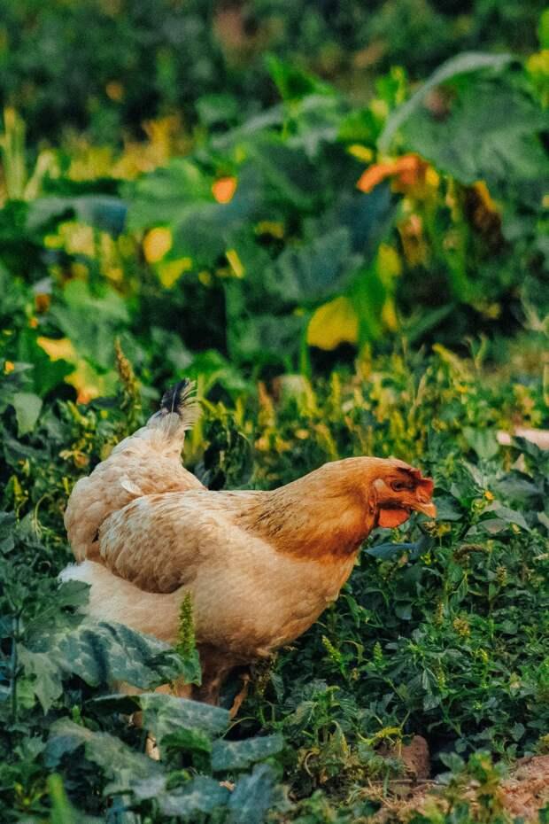 Французский фермер начал использовать кур вместо пестицидов. И вот как это работает...