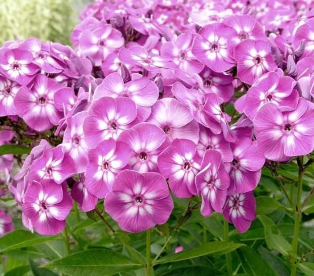 Флоксы разрастаются пышными и яркими соцветиями
