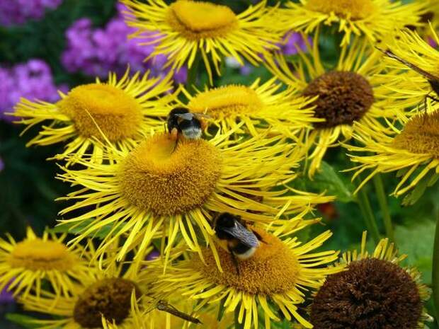 Пчёлки и девясил