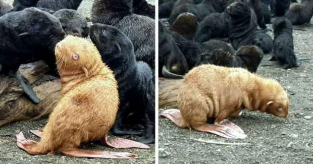 Рыжий тюлененок
