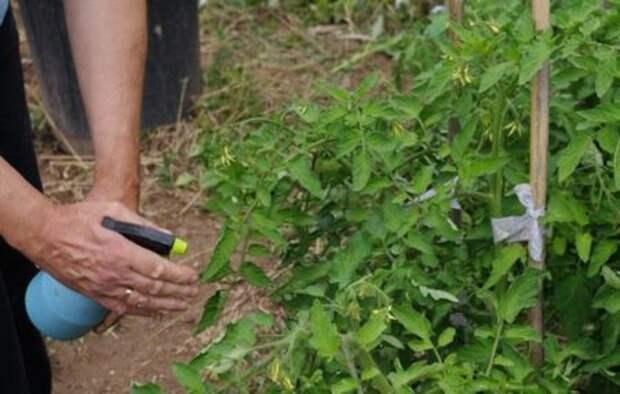 Хитрости о помидорах, о которых мало кто знает — советы дачницы