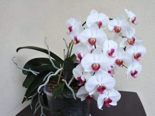 Раньше считалось, что орхидея — сильный женский талисман. Так ли это?