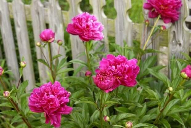 Пионы разрастаются пышными кустами с крупными цветами