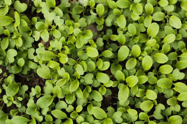 Рассаду лучше не тревожить пикировкой, поэтому семена желательно сразу посеять в отдельную тару