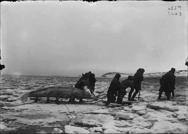 Коряки перетаскивают кита на санях. Пенжина, Камчатка. 1900