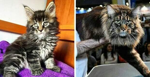 Самый длинный кот в мире попал в Книгу рекордов Гиннесса и стал звездой в Сети длина, домашний питомец, животные, кот, красавчик, милота, рекорд гиннесса