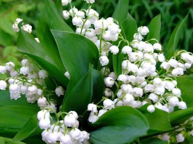 Цветы ландышей имеют приятный стойкий аромат