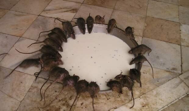 Страшные болезни грозят ростовчанам, неуничтожающим крыс