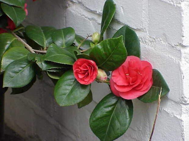 3937411_Camellia_japonica1 (640x480, 32Kb)