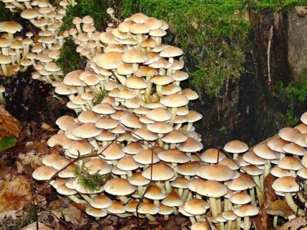 грибы опята на даче