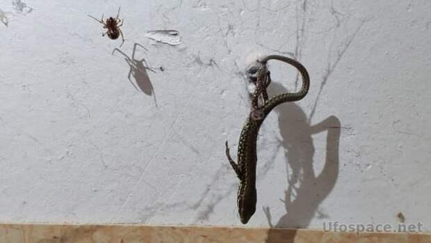Раскрыт секрет того, как пауки ловят добычу в 50 раз тяжелее себя