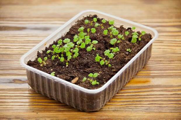 remontant strawberry seedlings in a pot on the table