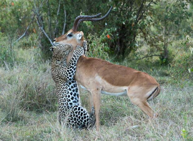 Поцелуй смерти: импала в лапах леопарда