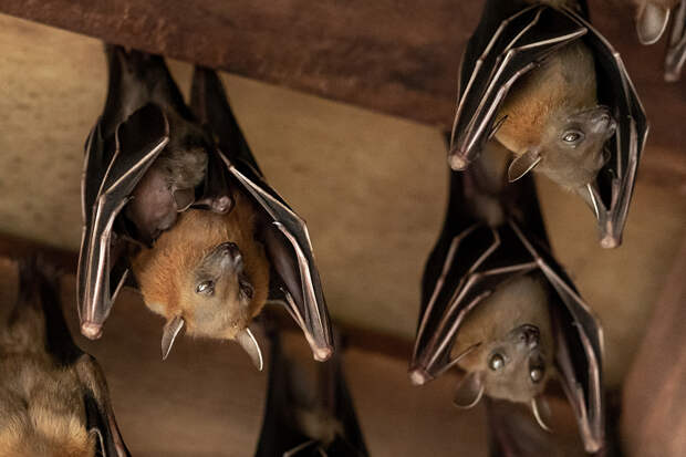 Учёные обнаружили у летучих мышей способность предсказывать будущее