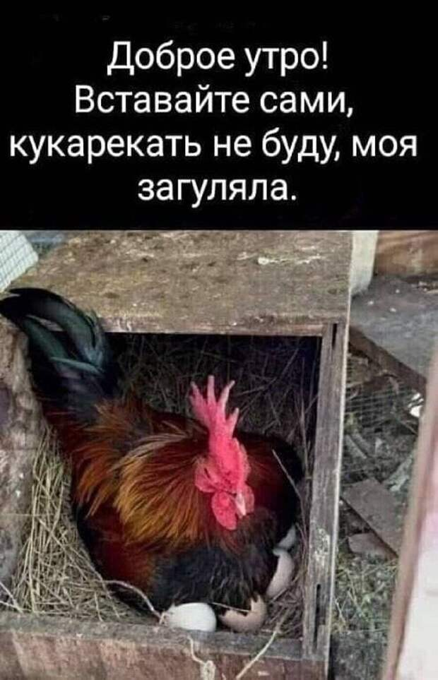Возможно, это изображение (текст «доброе утро! вставайте сами, кукарекать не буду, моя загуляла.»)