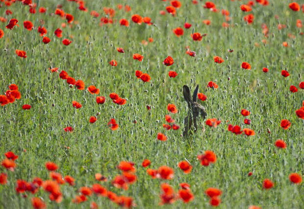 Заяц в маковом поле