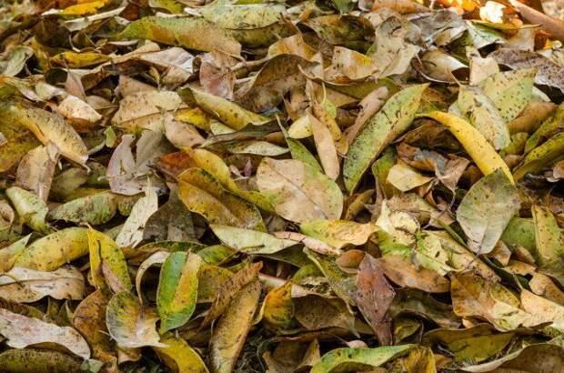 Что делать с опавшими осенью листьями