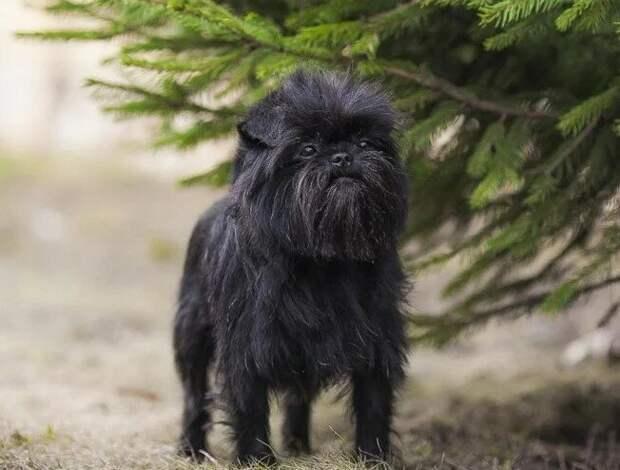Топ 7 породистых пород собак, которые похожи на дворняжек