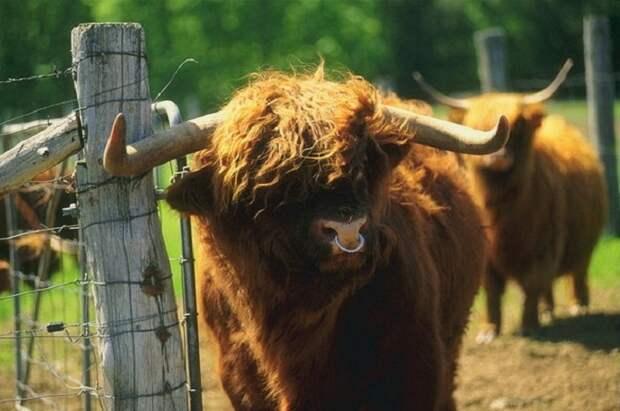 Зачем быку вставляют кольцо в нос, и почему корове не обойтись без дойки